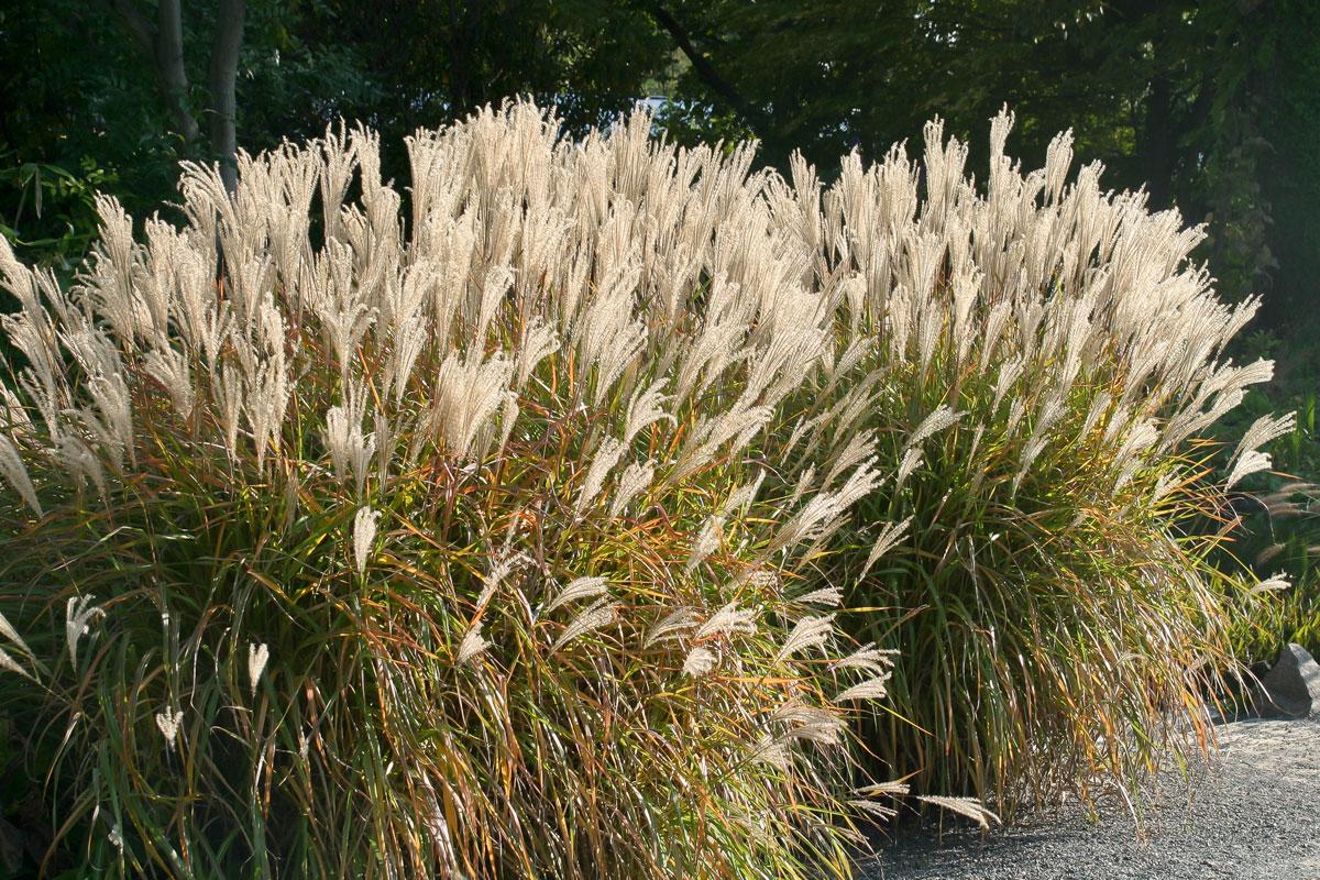 Gräser Für Garten die 10 imposantesten gräser im garten garten diybook de