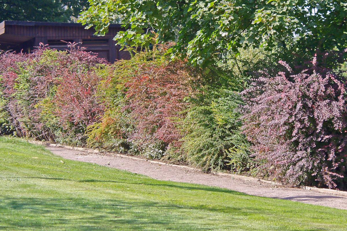 10 Optimale Heckenpflanzen Fur Den Garten Garten Diybook De