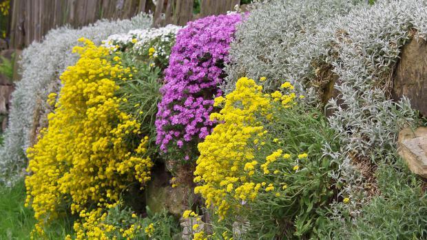 Trockenmauer-Bepflanzung in voller Blüte