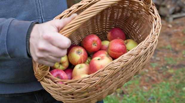Gefüllter Apfelkorb nach der Ernte