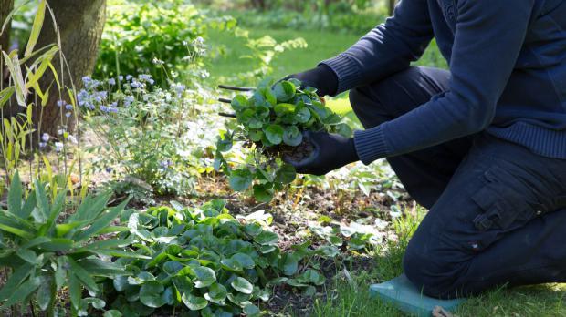Haselwurz im eigenen Garten finden