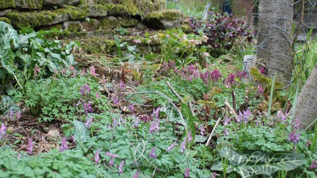Frühjahrsblüher Lerchensporn und Aronstab