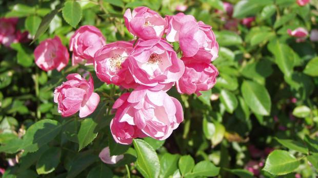 Beliebt unter den Gartenrosen: Strauchrose Angela