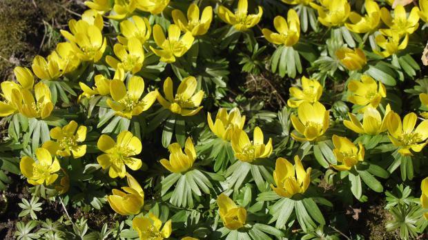Gelbe Winterlinge im Garten