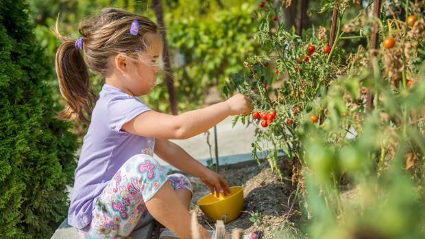 Mädchen sammelt im Garten Tomaten