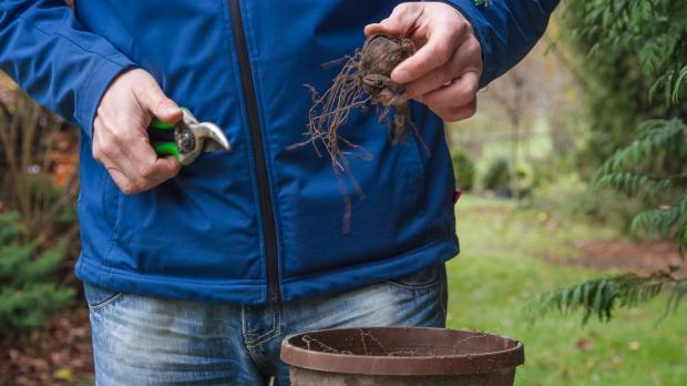 Gladiolenknollen zum Einwintern vorbereiten