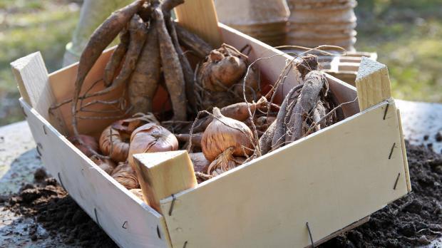 Dahlien und Gladiolenknollen in einer Kiste