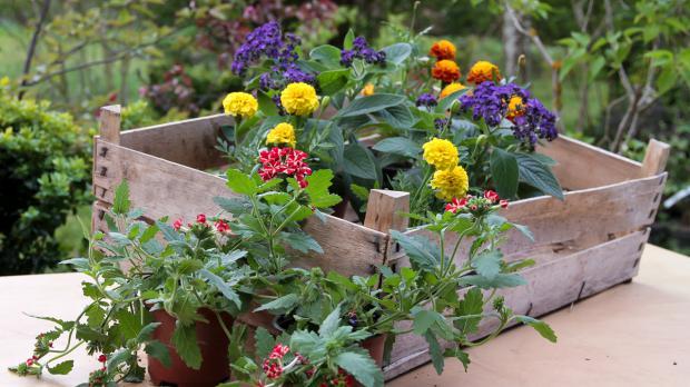 Sommerblumen bereit fürs Einpflanzen