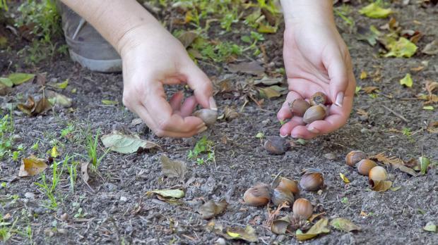 Im Garten verstreute Nüsse sammeln