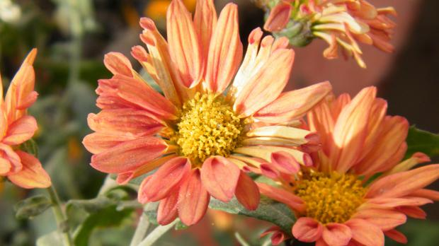 Garten-Chrysantheme oder Winteraster