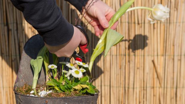 Frühlingsblumen recyceln u2013 Tulpen nach der Blüte auspflanzen Garten @ diybook de ~ 13213225_Sukkulenten Nach Der Blüte Abschneiden