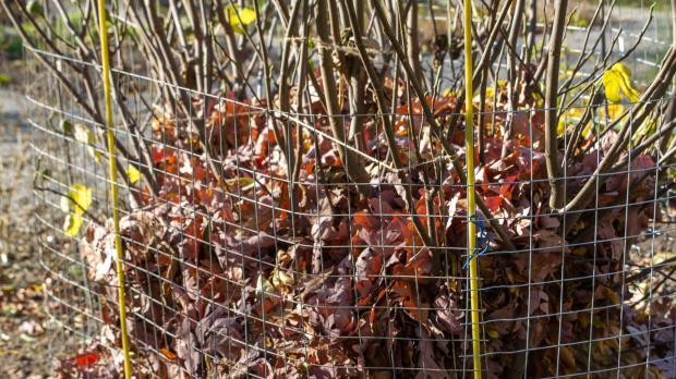 Feigenbaum mit Herbstlaub schützen