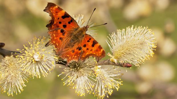 Schmetterling im Frühjahr