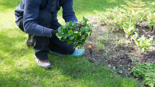 Haselwurz für Schleppenpflanzung vorbereiten