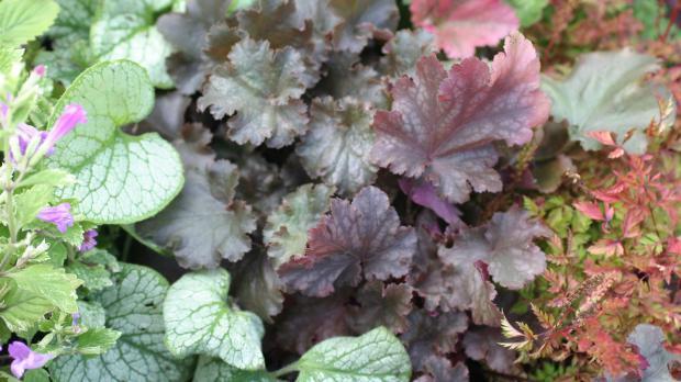 Auffallende Blätter der Purpurglöckchen