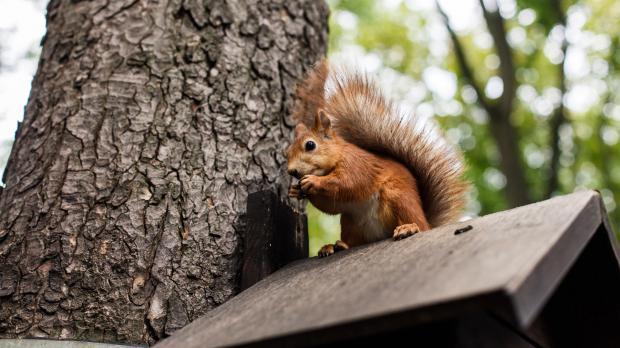 Eichhörnchen futtert auf Dach eines Vogelhauses