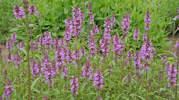 Ganz und zu Extrem 10 gartenfreundliche Teichrandpflanzen und Uferpflanzen - Garten &XU_46