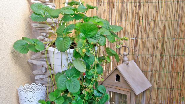 Erdbeerampel als hängende Pflanze