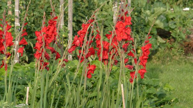 Rote Gladiolen im Sommer