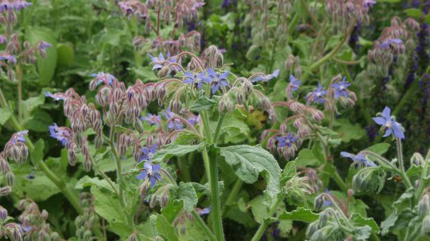 Borretsch mit markanten blauen Blüten