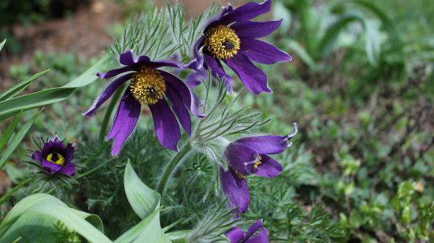 Blüten der Gemeinen Küchenschelle
