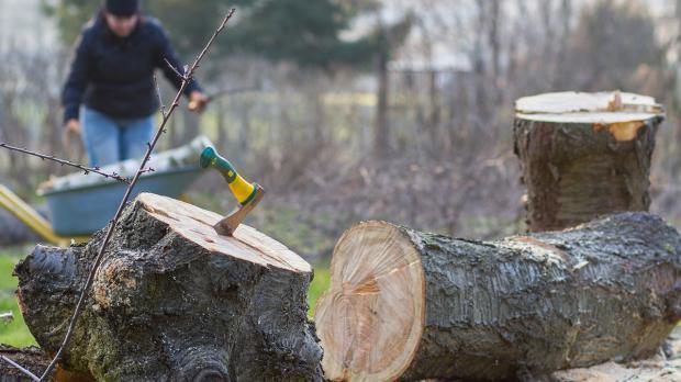 Letzte Gelegenheit zum Baumfällen