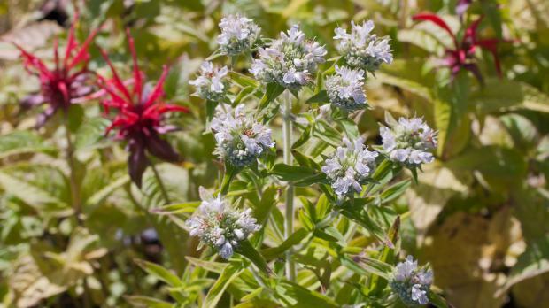 Prärieminze während der Blüte