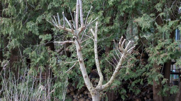 Kleinkronige Bäume als Ergebnis