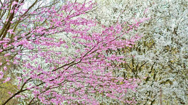 Blütenkirschen im Garten