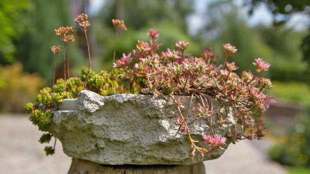 Steinschale im Garten mit Fetthennen