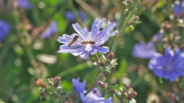 Insekten bestäuben die Wegwarte