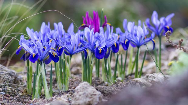 Blaue Zwiebeliris im Garten