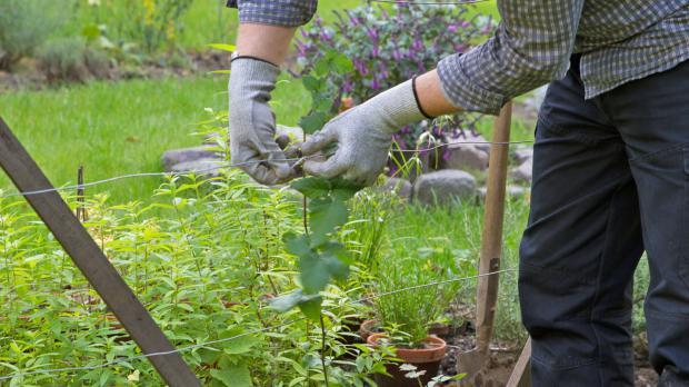 Triebe der Brombeerpflanze mit Kabelbinder fixieren