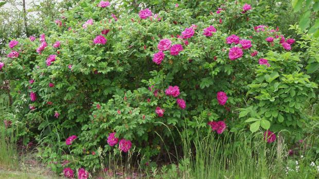 Wildrose Nr. 1: die Heckenrose