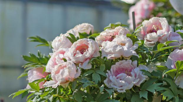 Pfingstrose mit großen Blüten