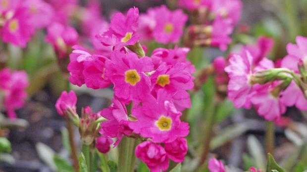 Rosenprimeln im Frühjahr