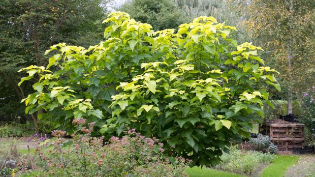 Schnell wachsender Kuchenbaum