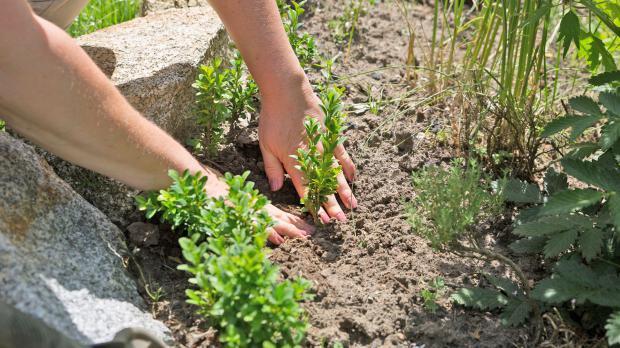 Jungpflanze einsetzen und Boden andrücken