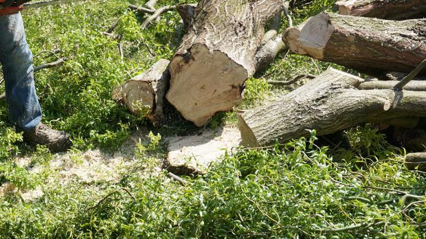 Gefällter Baum - Das Fällen wäre geschafft