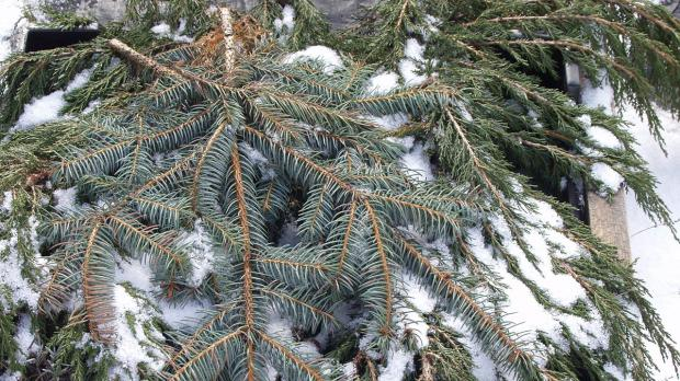 Tannreisig als Frostschutz