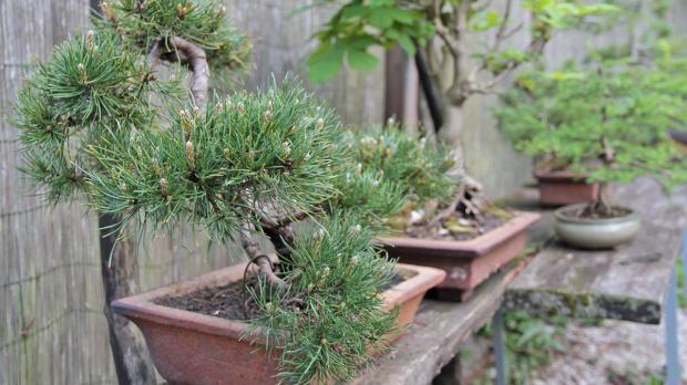 Bonsai-Bäume für den Japanischen Garten