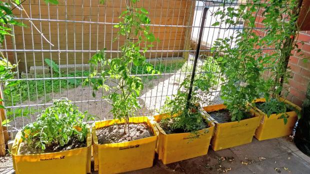 Tomatenpflanzen ranken zum Sichtschutz heran