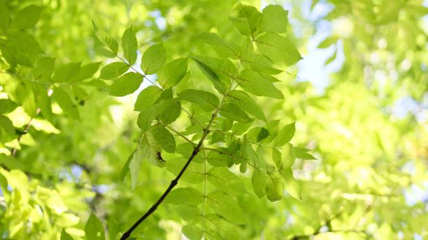 Blätterwerk einer Esche