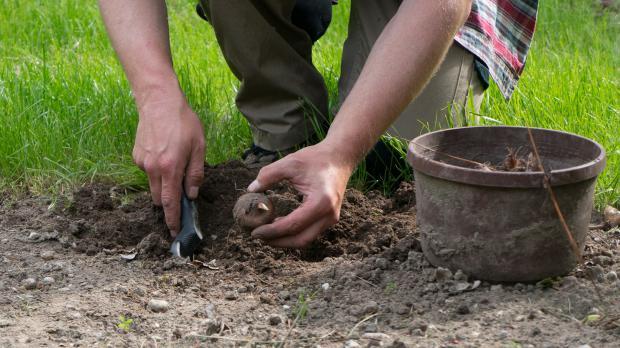 Knollen von Dahlien und Gladiolen in den Garten pflanzen