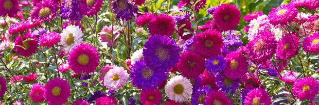 Bunter Flor aus Chinesischen Astern