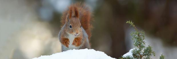 Eichhörnchen sucht im Schnee Verstecke