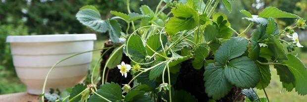 Erdbeeren neben einer leeren Blumenampel