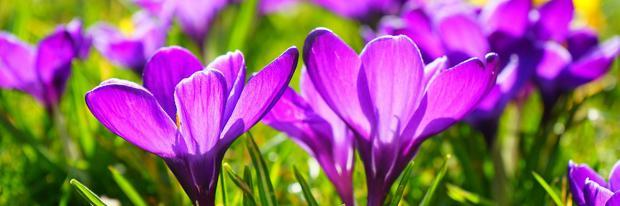 Blühender Krokus im Frühjahr | Hans @ pixabay.com