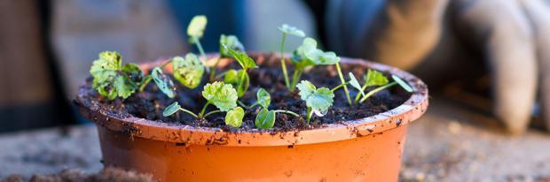Jungpflanzen in Pikierschale gesetzt