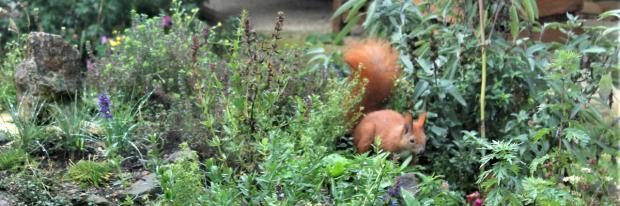 Eichhörnchen im Wildkräuterbeet